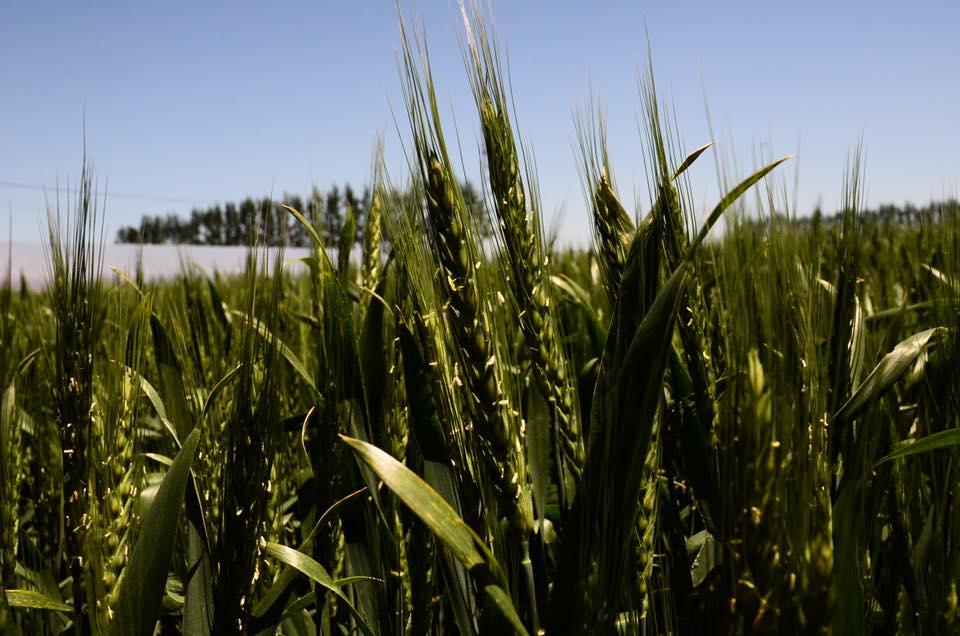 小麦圃場見学